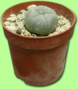 cactus peyote legal peiote ghiveci