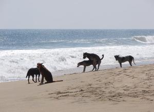 caini futai pe plaja